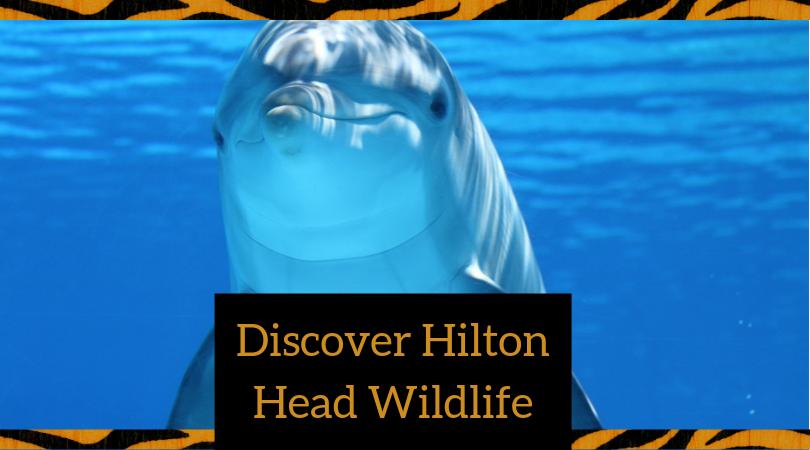 hilton head wildlife